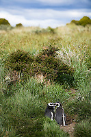 Two Magellanic Penguins on the Isla Martillo near Estancia Harberton and Ushuaia, Argentina. The island is the home of one of the largest penguin rookery in Tierra del Fuego.