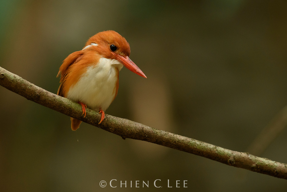 At only 13cm long and weighing less than 20g, the tiny and unobtrusive Madagascan Pygmy Kingfisher (Corythornis madagascariensis) is easily overlooked. These forest kingfishers hunt insects, small geckos, and frogs, which they watch patiently for while perched quietly on an understory branch. They are endemic to the forested regions of Madagascar.
