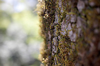 2014 March 20: Moss growing on tree during spring in Calistoga. The Napa Valley wine region.  Stock Photos