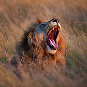 Male lion (Panthera leo) yaning in the savannah grass of Maasai Mara, Kenay.