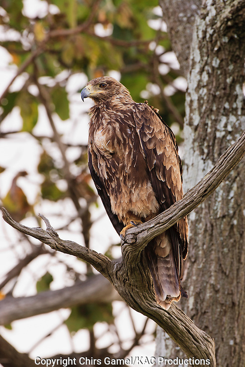 Tawny Eagle (Aquila rapax) perched in a tree, Serengeti National Park, Tanzania, Africa; bird of prey; carnivore