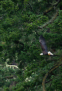 Bald Eagle (Haliaeetus leucocephalus) Flying, Shaw Island, Washington, US