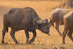 """This buffalo is part of the herd that we observed being attacked by a pride of lion at Mana Pools , Zimbabwe. *50% of the proceeds from sales of these photos taken at Mana Pools National Park in Zimbabwe will go to The Zambezi Society, a charity that supports the Zambezi Valley, which includes Mana Pools.  In 1982, this volunteer organization successfully lobbied against the proposed Mupata Gorge dam site on the Zambezi River, which would have flooded what is now Mana Pools National Park, making  the wildlife scenes in these photographs impossible. For more information, click """"50% Charity Pledge"""" at the top of this page, and thanks for helping to keep Mana Pools wild!"""