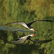 Black Skimmer with Shadow