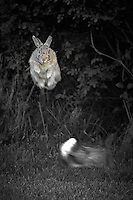 Jumping Rabbit. Image taken with a Nikon D2xs and 300 mm f/2.8 VR + TCE-II 14 (ISO 400, 420 mm, f/4, 1/160 sec).