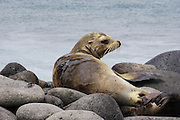 Seal on the beach. Photographed in the Galapagos Island, Ecuador