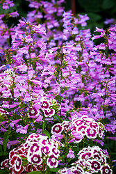 Dianthus barbatus 'Electron Auricula-eyed Mixed' - Sweet William - with Penstemon heterophyllus 'Heavenly Blue'