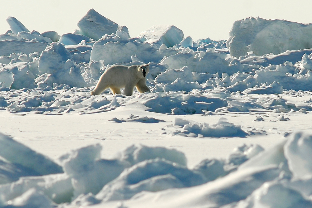 Alaska. Polar bear on the ice of the Chukchi sea and Arctic Ocean
