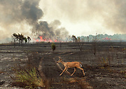 A deer runs across a burned field near Highway 72 in Limestone County outside of Athens, Ala., Thursday, September 2, as a brush and woods fire burns behind it.  Limestone volunteer fire departments were kept busy with three major brush fires in different parts of the county all burning at the same time.  North Alabama's hot, dry weather is causing a rash of brush fires.  (AP Photo/The Decatur Daily, Gary Cosby Jr.)
