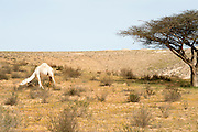 White camel grazing in the Negev desert near an acacia tree