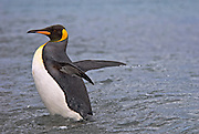 King Penguin leaving the sea leaves behind droplets of water from its wings.