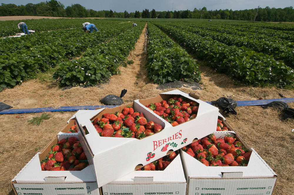 Strawberries in Charles County, Maryland