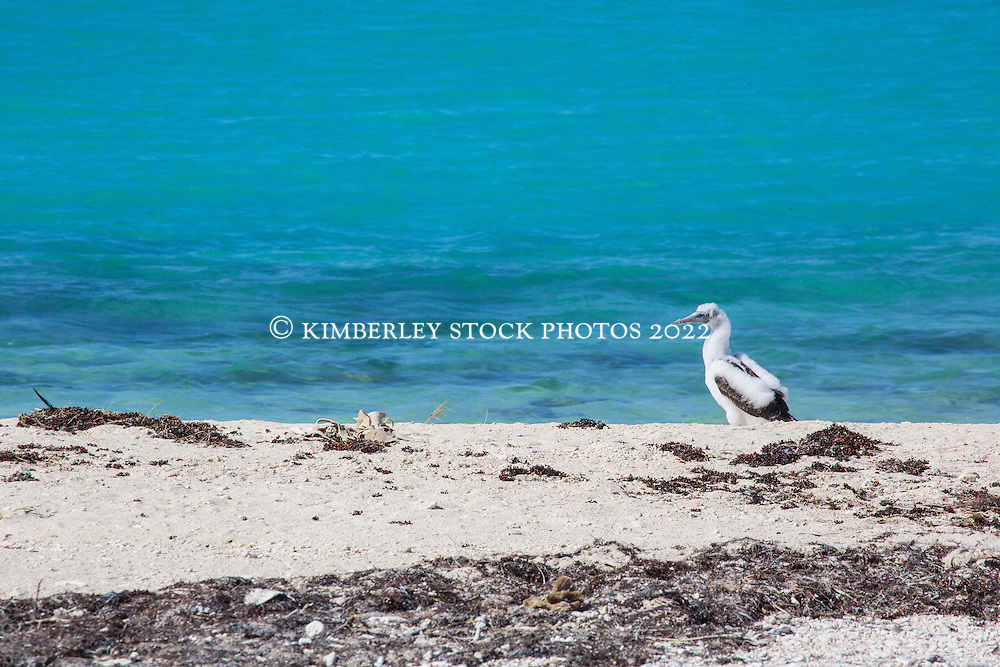 A young Brown Booby (Sula leucogaster) on the Lacepede Islands to the north of Broome.