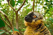 The Common Brown Lemur (Eulemur fulvus) is a species of primate endemic to Madagascar