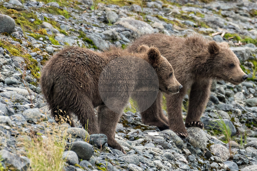 Brown bear spring cubs react to an approaching adult bear at the lower lagoon at the McNeil River State Game Sanctuary on the Kenai Peninsula, Alaska. The remote site is accessed only with a special permit and is the world's largest seasonal population of brown bears in their natural environment.