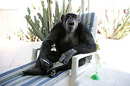 EXCLUSIVE 24th June 2008, Palm Springs, California. 76-year-old Cheeta, star of many Hollywood Tarzan films of the 1930s and 1940s, is coming out of retirement. Recognized as the oldest chimpanzee alive, the Palm Springs resident has just signed a record deal. To celebrate the signing, Cheeta made a promo music video to accompany his cover of the 1975 hit song 'Convoy'. Pictured with Cheeta signing the contract is record exec. John Trickett of independent music label Immergent. PHOTO &copy; JOHN CHAPPLE / www.johnchapple.com <br /> .tel: +1-310-570-9100