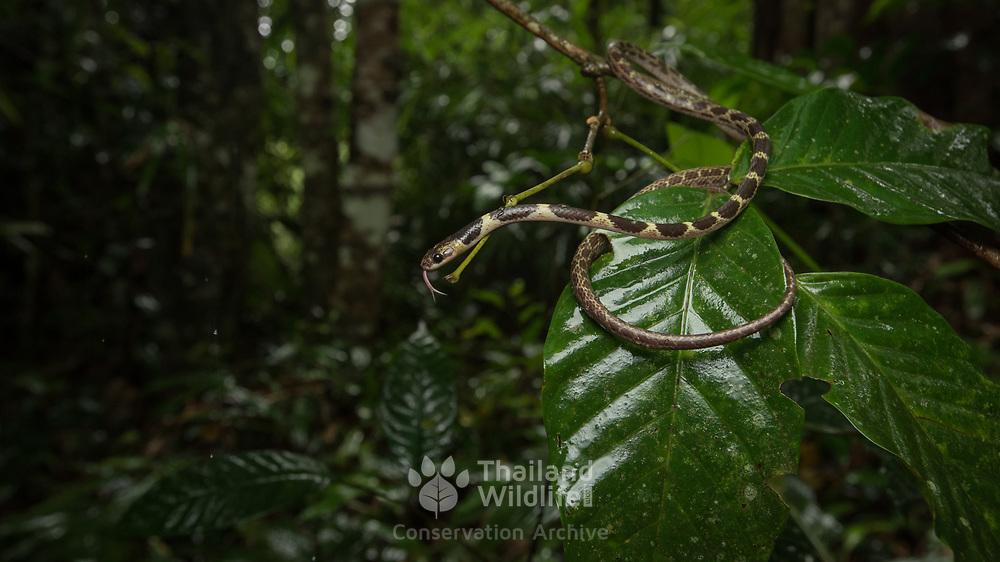 Malayan Bridle Snake (Dryocalamus subannulatus) in Kaeng Krachan national park, Thailand