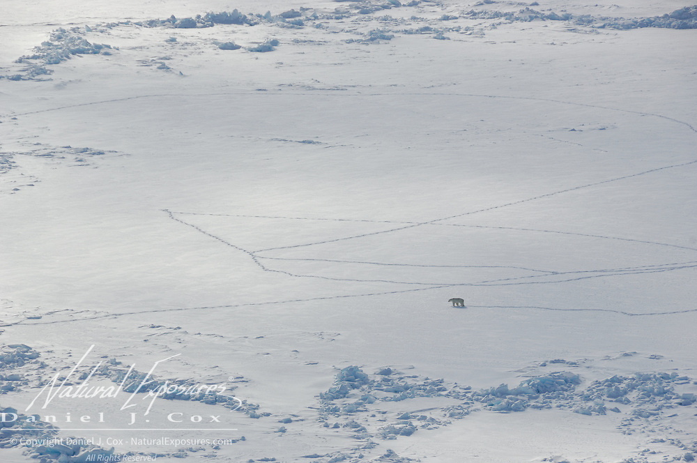 A polar bear (Ursus maritimus) makes tracks in the snow. These tracks are important for being able to find the bears on the ice for darting and capturing for scientific research.