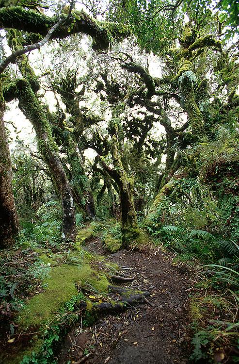 Moss covered trees at 3000 ft near Dawson Falls on Mt Taranaki, New Zealand, July 27, 2004. Credit:SNPA / Rob Tucker