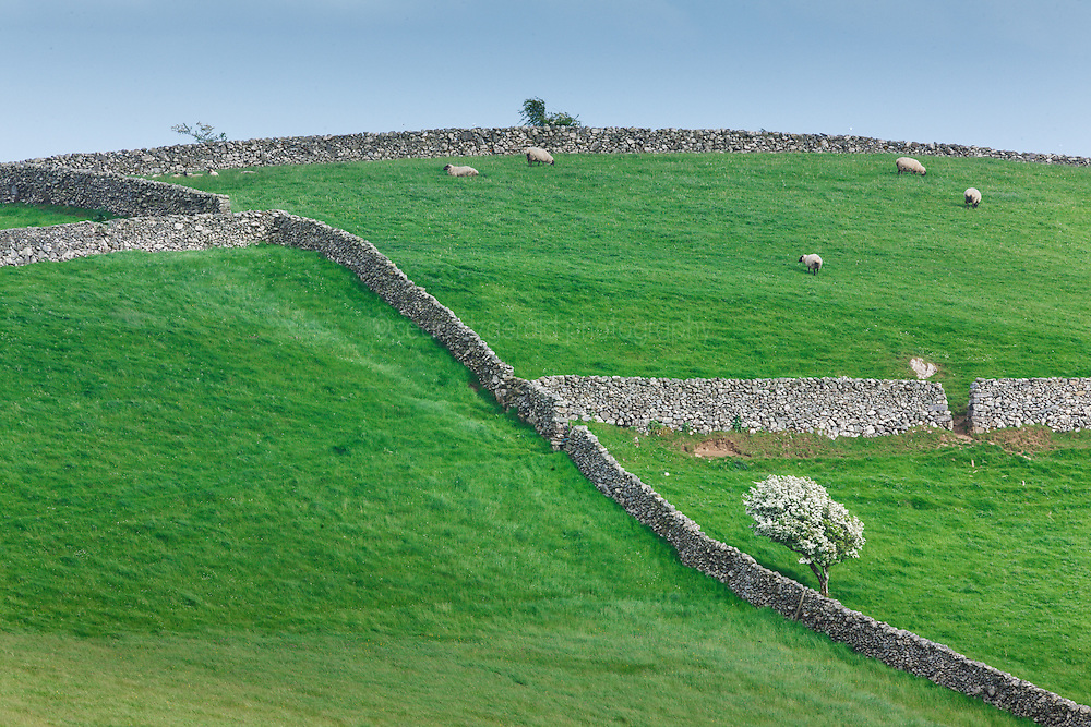 Hawthorn tree, stone fences and sheep near Cornamona, County Galway, Ireland