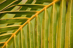 Chile, Easter Island: Green palm frond..Photo #: ch323-33006..Photo copyright Lee Foster www.fostertravel.com lee@fostertravel.com 510-549-2202