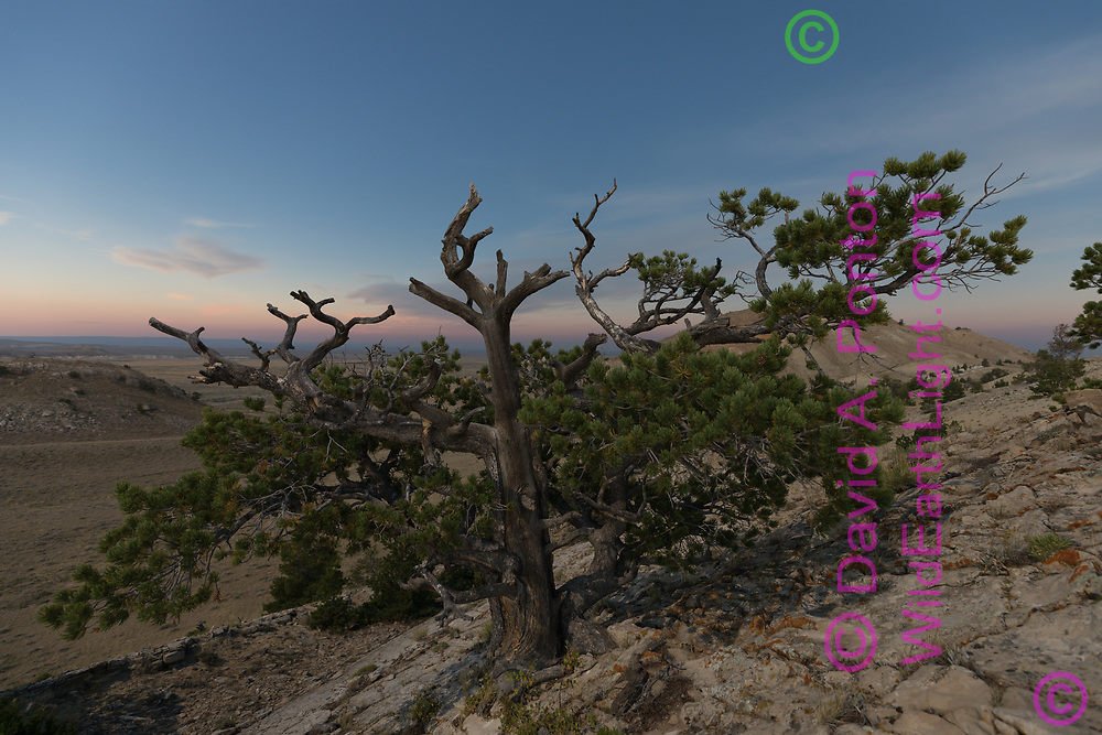 Bristlecone pine tree on rock outcrop 9 seconds before totality. WY, © 2017 David A. Ponton