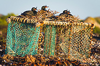 Crowned Cormorants nest on an abandoned craysfish trap, Dassen Island, Western Cape, South Africa