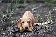 This is Flossy, a 5-month-old wire-haired miniature Dachshund.