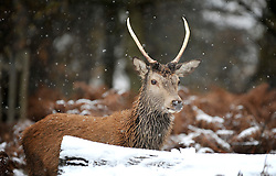 © under license to London News Pictures. 30/11/2010. Deer in the first fall of snow for the winter season in Richmond park, London today (Tuesday) . Photo credit should read: Stephen Simpson/LNP