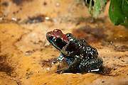 Ecuadorian Poison Frog (Ameerega bilinguis) with tadpoles on back<br /> Yasuni National Park, Amazon Rainforest<br /> ECUADOR. South America<br /> HABITAT & RANGE: Forest floor of subtropical or tropical moist lowland forests, rivers, intermittent rivers, freshwater marshes of Colombia, Ecuador and maybe Peru.