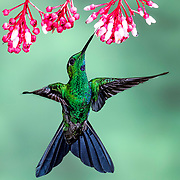 A Green-crowned Brilliant Hummingbird sticks its tongue into small flowers, presenting a full, open frontal view, its brilliant green body with blue patches shimmering