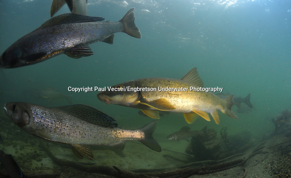 Longnose Sucker (with arctic grayling in background)<br />