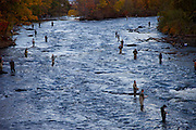Salmon fishing in October in the Salmon River, Pulaski, NY, near the Canadian border.
