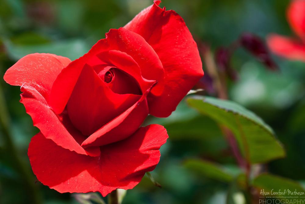 Rose Kanegem