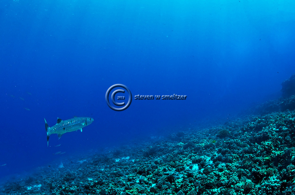 Great Barracuda, Sphyraena barracuda, Edwards, 1771, Molokini Crater, Maui Hawaii