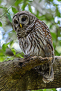 Adult Barred Owl (Strix varia) keeping a watchful eye on her fledgelings