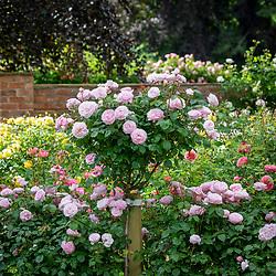 Rosa Olivia Rose Austin = 'Ausmixture' grown as a standard and hedge
