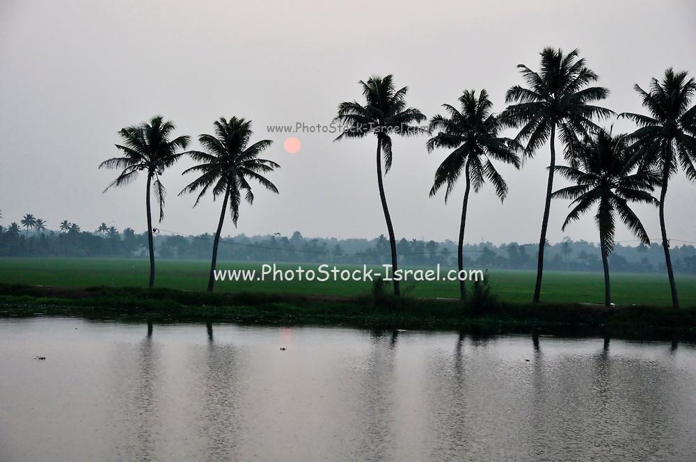 India, Kerala backwaters Landscape Pal trees at sunset