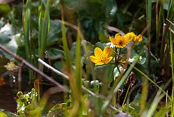 THEMENBILD - Die Sumpfdotterblume (Caltha palustris) blüht von April bis Juni vermehrt am Rande von Gewässern. Die gelben Blüten der Sumpfdotterblume sind deutlich zu erkennen durch die fünf Perigonblätter und die zahlreichen Staubblätter, aufgenommen am 10. April 2018, Ort, Österreich // The Marsh Marigold (Caltha palustris) flowers from April to June increasingly on the edge of waters. The yellow flowers of the marsh marigold are clearly recognizable by the five tepals and the numerous stamens on 2018/04/10, Ort, Austria. EXPA Pictures © 2018, PhotoCredit: EXPA/ Stefanie Oberhauser