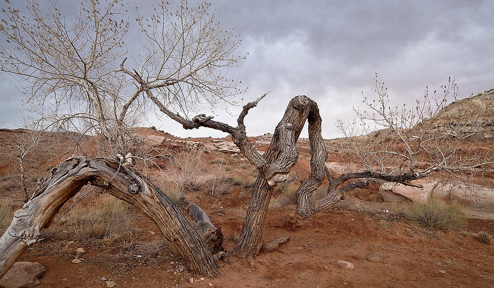 A deformed and struggling cottonwood tree (Populus sp) under a stormy sky in the San Rafael Swell, Utah.