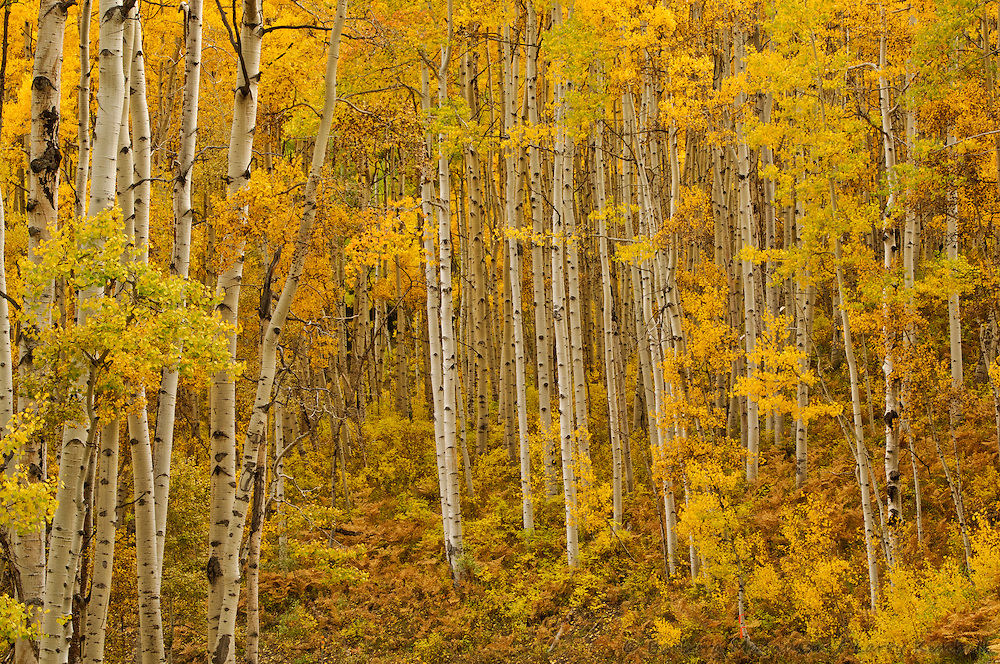 Autumn aspen grove [Populus tremuloides]; Kebler Pass, Colorado