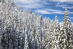 """Snowy Trees in Tahoe 2"" - Photograph of snow covered trees shot along the Truckee River in California."