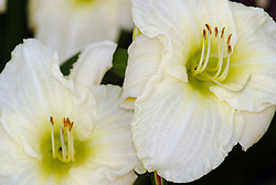 29 July 2006 lilies in the backyard