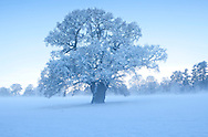 Oak tree covered in snow