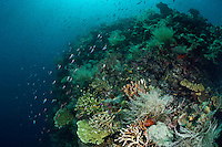 The reefs of Raja Ampat are amongst the most biodiverse and healthiest in the world and are home to an extraordinary array of different species.
