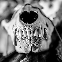 Botswana, Kalahari, Jackal skull