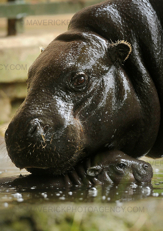 Keepers at Edinburgh Zoo are celebrating the birth of a pygmy hippopotamus. Leishan, whose name means 'gift' in West African, was born on 9th June. She is the offspring of Ellen (Pictured) and Otto and is the first baby for this new breeding pair.  Pygmy hippos are only found in West Africa, where they are now critically endangered. Their primary threat is the loss of their forest habitat due to the timber industry.