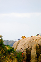 A lioness atop a kopje (rock outcropping), Serengeti National Park, Tanzania
