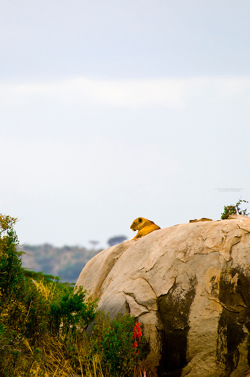 A lioness atop a kopje (rock outcropping), Serengeti National Park, Tanzania