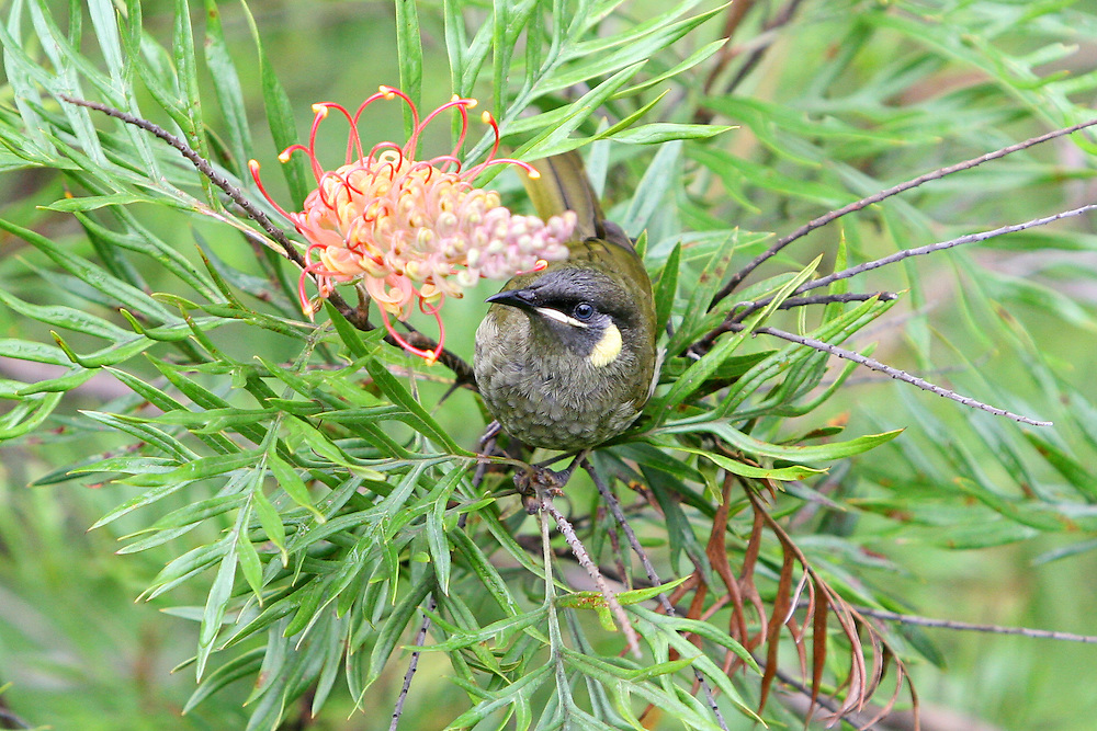 The Lewin's Honeyeater, Meliphaga lewinii, inhabits the mountain ranges of the east coast of Australia. It has a semicircular ear patch, pale yellow in colour. Its named after Australian artist John Lewin.